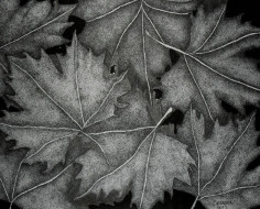 black-leaves